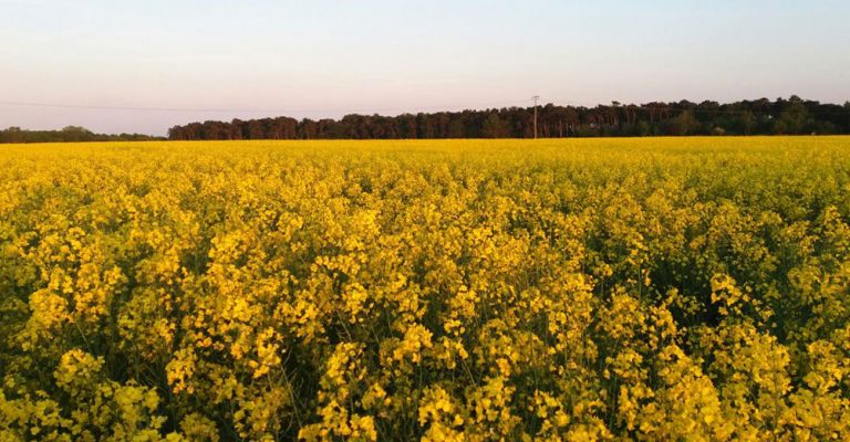 gelb blühendes Rapsfeld Wieck am Darss